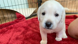 LIVE STREAM Puppy Cam!  4 week old adorable Lab puppies at play
