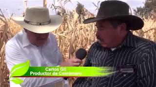 Presencia del Fusarium del maíz en Cuerámaro Guanajuato