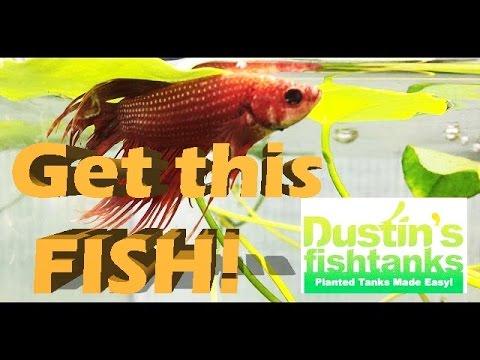 Easy beginner aquarium plant beginner easy aquarium fish for Easy pet fish