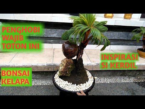 Bonsai Kelapa Inspirasi Untuk Membuat Bonsai Kelapa Kerdil Youtube
