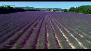 Cánh đồng hoa oải hương của Provence nước pháp | Thegioihoahong