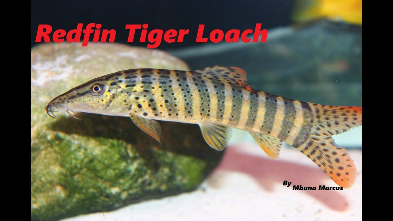 cool fish redfin tiger loach syncrossus berdmorei youtube