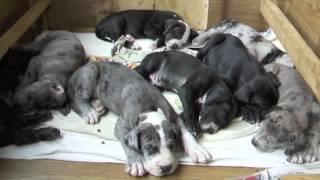 Duitse Dog Puppies Slapen.m4v