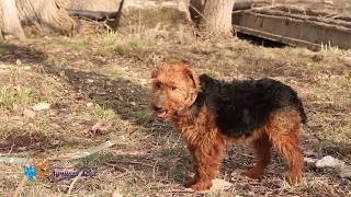 В добрые и опытные руки красивый пёс Велюр!