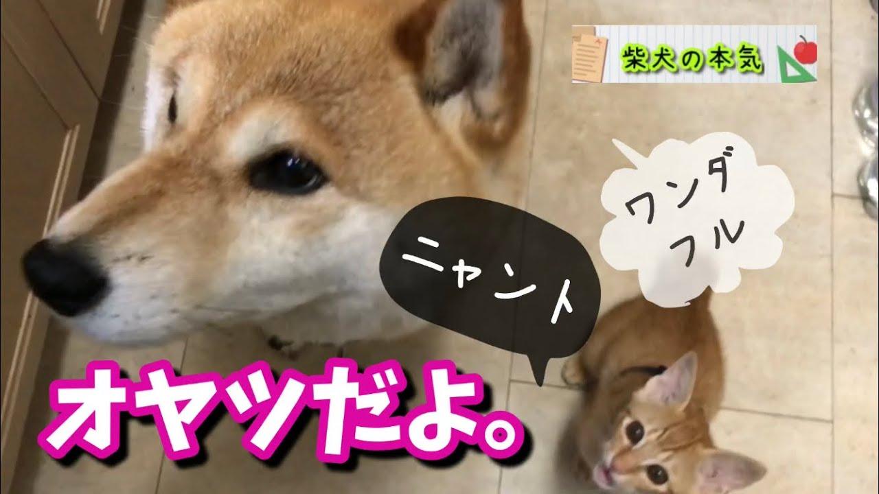 【柴犬】柴犬と仔猫がオヤツを待つ仕草が可愛い過ぎます。毎日あげたくなるあなたの柴犬の本気【仔猫】