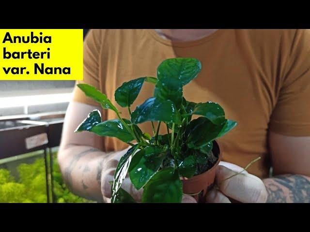 Αnubia barteri  var Νana | Ενυδρειακά φυτά 101