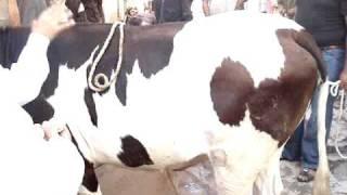 Cow Qurbani 2008 Pappu bhai F.B.Area (Khurram Bhai)