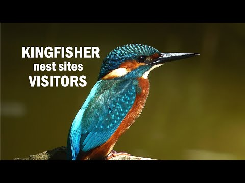 Kingfisher Nest Sites Visitors
