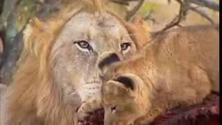 Дикая природа - Львы (BBC)