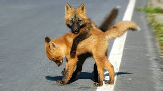 These 10 Dogs Look Really Like Foxes