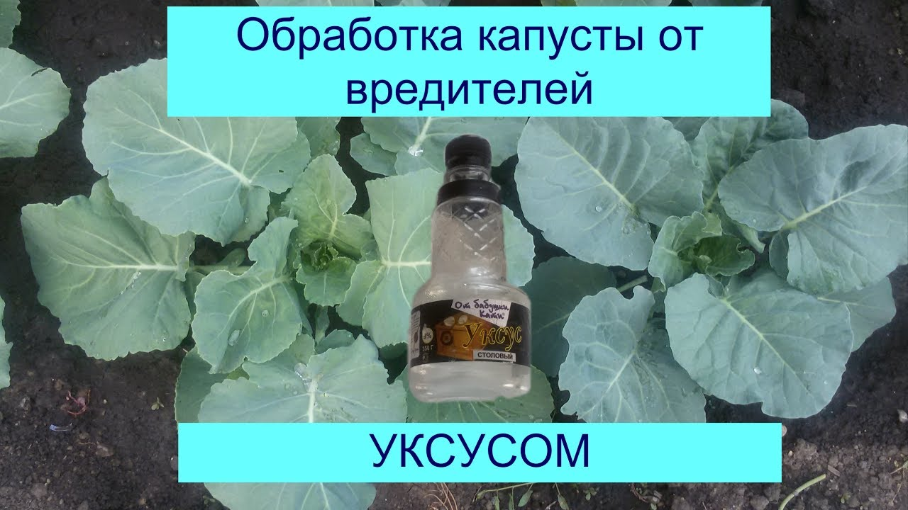 опрыскивание уксусом капусты