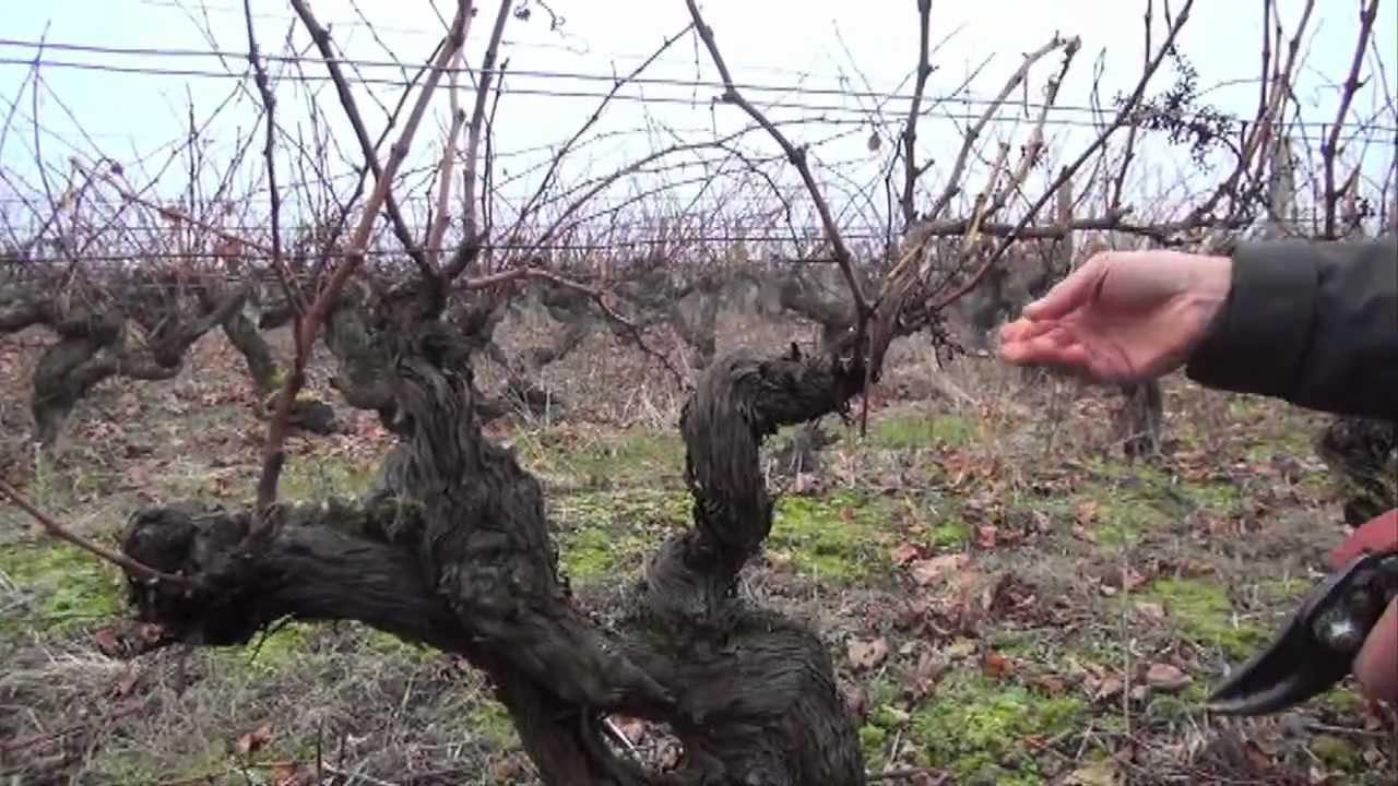 Taille de la vigne apres le gel taille en baguette youtube - Taille des hortensias en mars ...