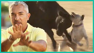 Aggressive or Frustrated? Cesar Uses Cattle To Find Out | Cesar 911