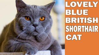 BRITISH SHORTHAIR BLUE CAT FUN !!!  4K