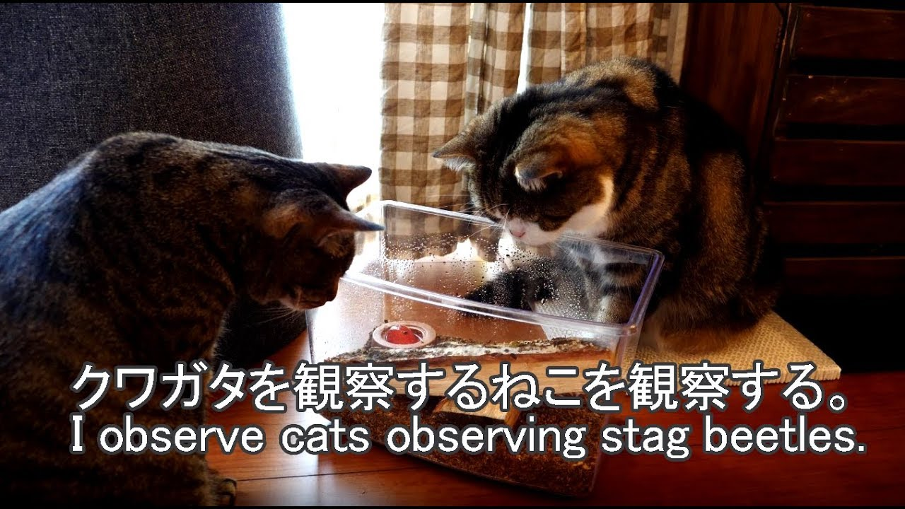 クワガタを観察するねこを観察する-i-observe-cats-observing-stag-beetles