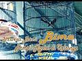 Murai Batu  Bima  King Oliver Tampil Ngotot Di Piala Kapolres   Mp3 - Mp4 Download