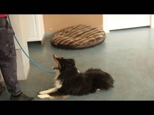 Dogs Who Serve- Teddy the Sheltie- Utah Service Dog Training