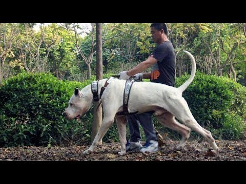 Bully Kutta - Spartan Dog Breed