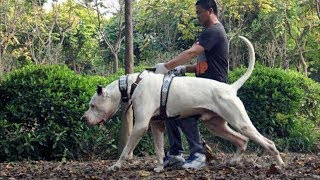 Bully Kutta - Spartan Dog Breed