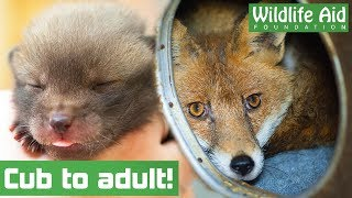 CUTE orphaned BABY FOXES return to the wild!