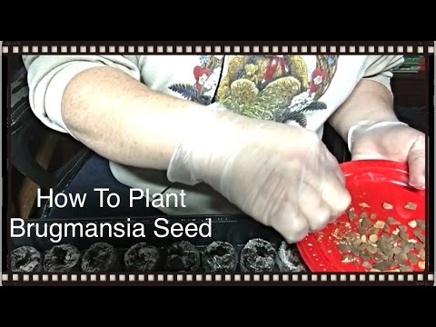 How To Plant Brugmansia Seeds - Sheri Ann Richerson