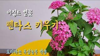 펜타스 키우기 ㅣ 가성비 좋은 화초 ㅣ이집트 별꽃 ㅣP…