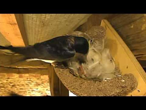 Swallow kills chicks