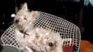 Funny Adorable Westie Dogs Duke And Bella's Hilarious Head Twists America's Cutest Dogs 2009