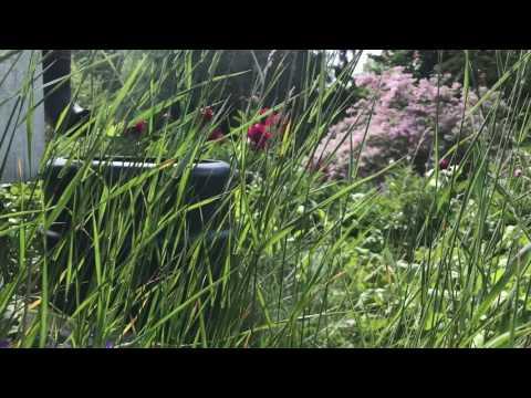 Värsta ogräset som dödar annat växande -och så här får du bort det