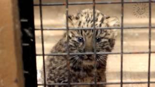 Котенок леопарда и его мама Фелиция, г  Самара