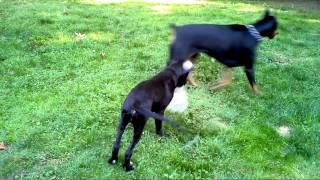 Doberman And Great Dane Puppy