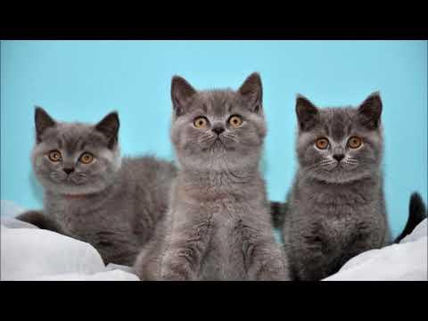Как разводить кошек на продажу в домашних условиях