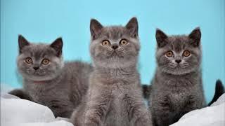 Разведение породистых кошек как бизнес идея