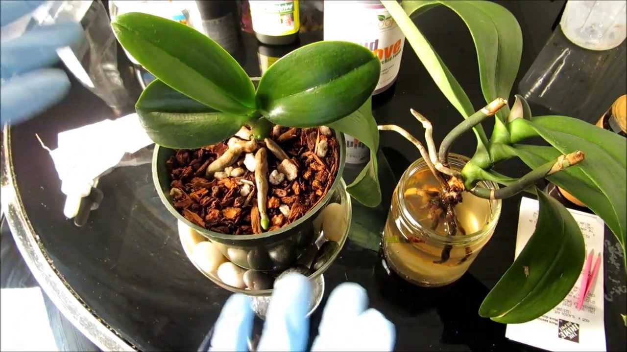 Checking My Orchid Descriptions I Realized That It Has Been Over A Year Since Last Repotted This All Signs Indicated Was Time To