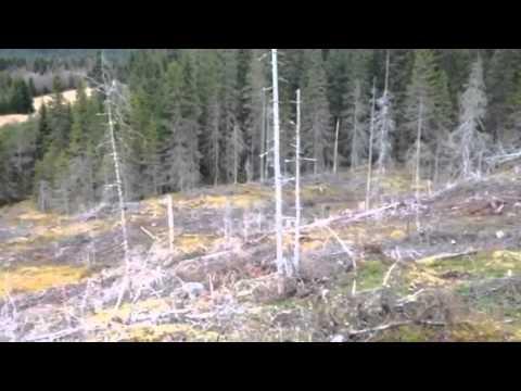 Harejakt med drever
