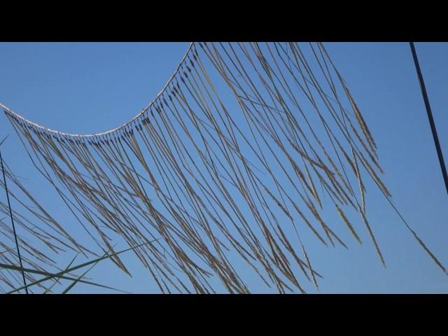 grasswind