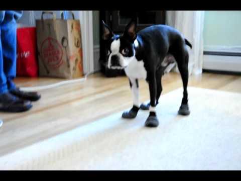 Dog Wearing Shoes Gif