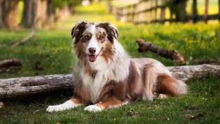 Australian Shepherd  medium size dog breed