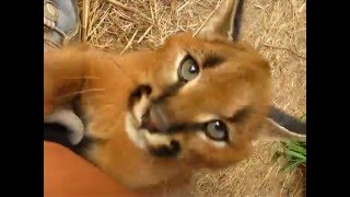 Baby Orion the cutest caracal ever