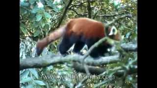 Red Panda in Eastern Himalaya