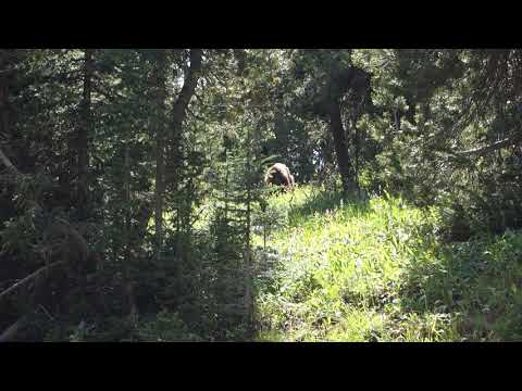 Yellowstone - Mount Washburn Trail - bear on the trail
