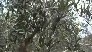 La potatura degli ulivi da MicheleExpert-Cropalati CS