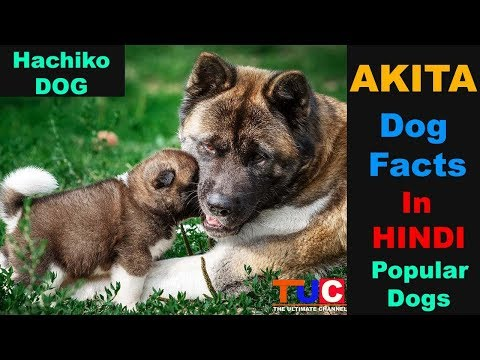 Akita Dog Breed Facts In Hindi: Popular Dog Breeds : TUC : The Ultimate Channel
