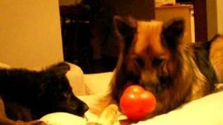 Long Hair German Shepherd Playing With Black German Shepherd Puppy