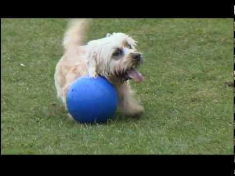 Dandie Dinmont terrier Maddy Playing Football