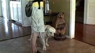 Beau The Lab | Redeeming Dogs | Dfw Dog Training