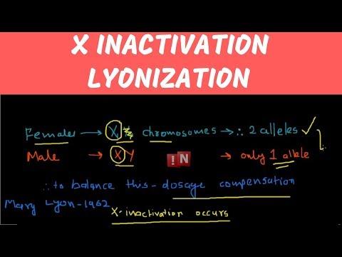 X Inactivation – Lyonization