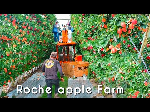THIS APPLE TREES LOOK AMAZING / NEW AGRICULTURE TO HARVEST  2019