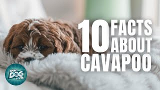 10 Facts About the Cavapoo/Cavoodle   Dogs 101