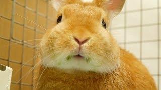 ブロッコリーの葉っぱをあげてみたらウサギがおかしくなった!! ネザーランドドワーフ  うさぎ thumbnail